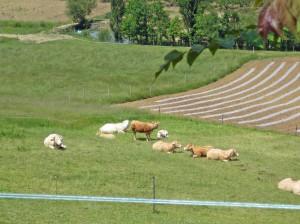 Grass fed beef.