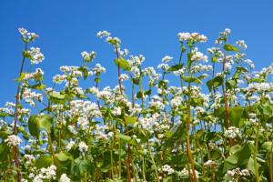 Buckwheat plants